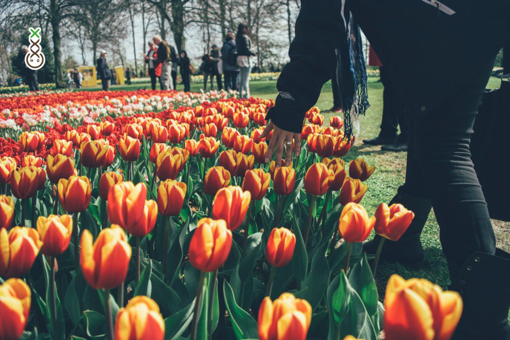 Hand reaching for a field of red and yellow tulips