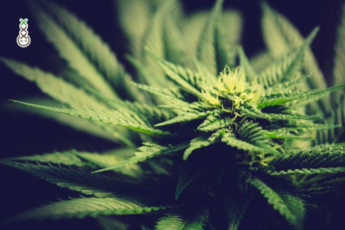 weed plant spirit